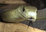 Black mamba – Dendroaspis polylepis