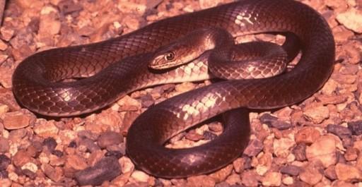 Olive Whip (grass) Snake