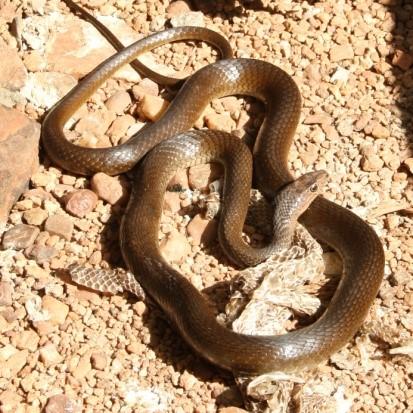Olive Whip Snake