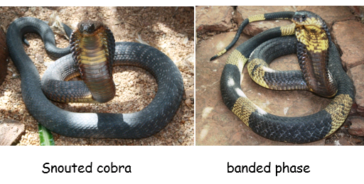 Egyptian or 'snouted' cobra (Naja annulifera)